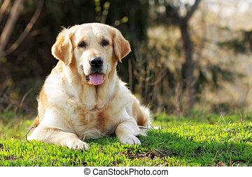 feliz, perro cobrador dorado, perro, acostado, en, el, verano, pasto o césped