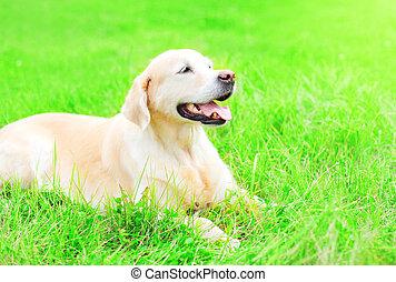 feliz, perro cobrador dorado, perro, es, acostado, reclinación encendido, el, pasto o césped, en, un, soleado, día de verano