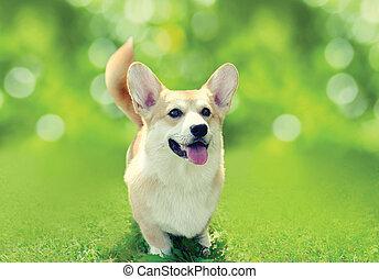 feliz, perro, corgi pembroke galés, en la hierba, en, soleado, día de verano