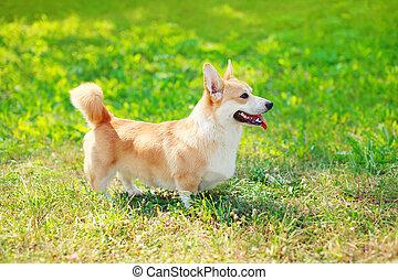 feliz, perro, corgi pembroke galés, en la hierba, en, verano, día soleado, opinión del perfil