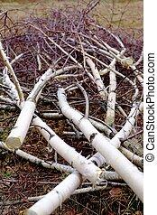 Felled birch branches