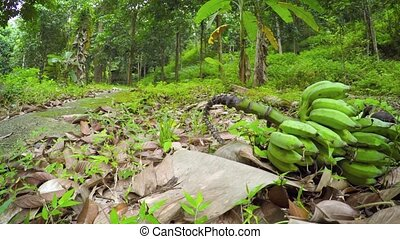 """Felled Cluster of Bananas in a Southeast Asian Nature Park, with Sound"""