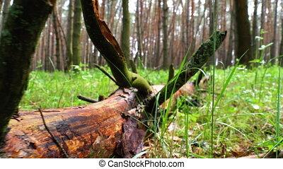 felled, lies, дикий, plants, forest., журнал, зеленый, ...