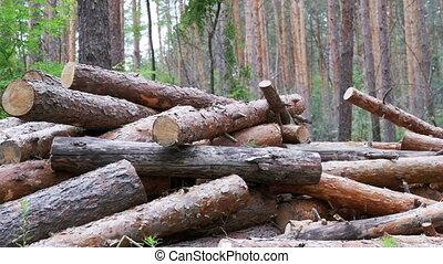 Felled Logs Falling on a Tree Trunks in the Forest. Folding...