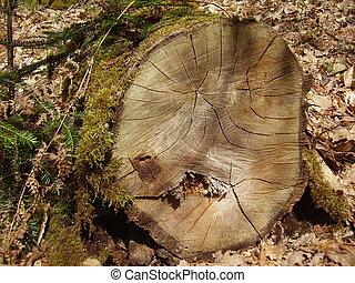 Felled oak tree in woods
