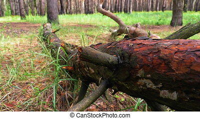 Felled Tree in Wild Forest. Camera Moves in Woodland. Log ...