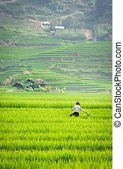 felnövés, rizs, vietnam, terasz, farmer