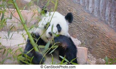 felnőtt, bambusz, hord, -, panda, elfoglalt, étkezési