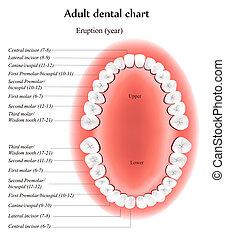 felnőtt, fogászati, diagram