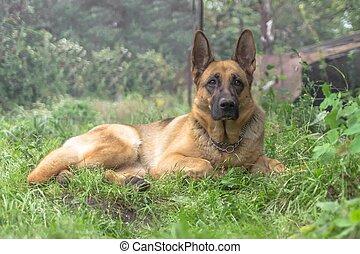 felnőtt, német kalauzol, kutya