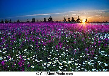 felt, hen, blomstre, solopgang