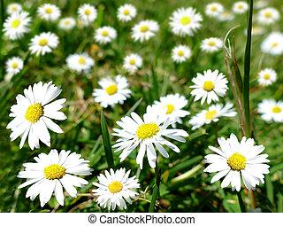 felt, hos, bellis, blomster