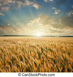 felt, hvede, solnedgang