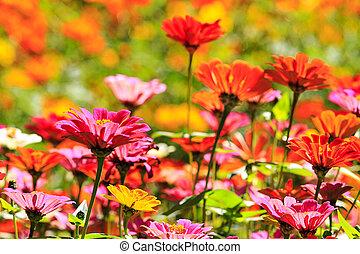 felt, i, bellis, blomster