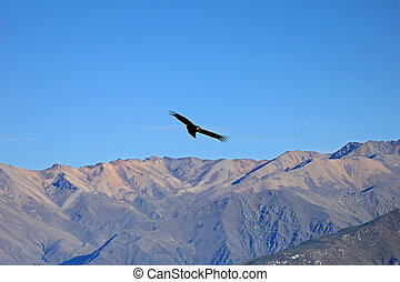 Female adult condor flying over mountains