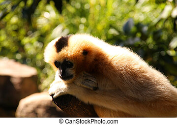 Female Adult White-Cheeked Gibbon in Deep Thought