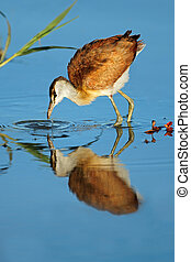 Female African jacana (Actophilornis africana) foraging in shallow water, South Africa