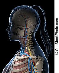 Female anatomy - 3d rendered illustration of the female ...