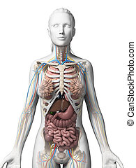 Female anatomy - 3d rendered illustration of the female ...
