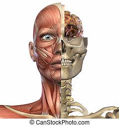 Female Anatomy Body