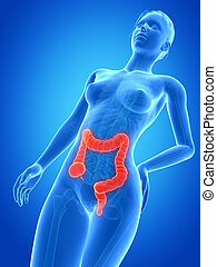Female anatomy - colon - medical 3d illustration - female...