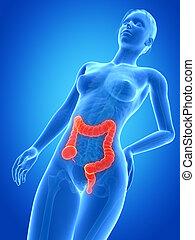 medical 3d illustration - female anatomy - colon