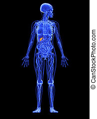female anatomy - gallbladder - 3d rendered illustration of a...