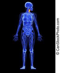 female anatomy - larynx - 3d rendered illustration of a...