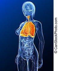 female anatomy - lung