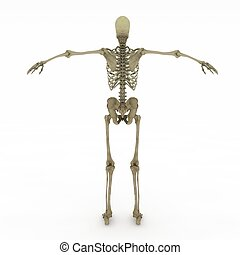 Female Anatomy Only skeletal