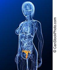 female anatomy - uterus