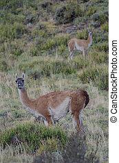 Female and cub of guanaco Lama guanicoe. Torres del Paine ...