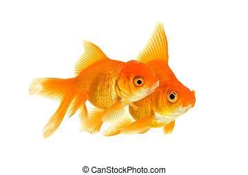 Female and the male of the goldfishes