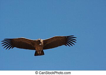 Andean Condor - Female Andean Condor in Colca Canyon, Peru