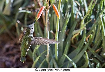 Female Anna's hummingbird (Calypte anna) feeding in flight #2
