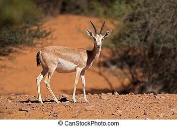 Arabian sand gazelle - Female Arabian sand gazelle (Gazella...