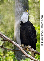 Female Bald Eagle with Head Up
