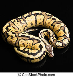 Female Ball Python. Firefly Morph or Mutation - Female Ball ...