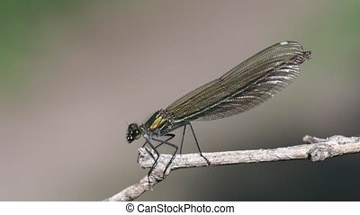 Female Banded Demoiselle sitting and fly away - Female...