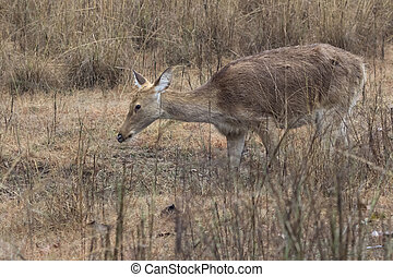 Female Barasingha or swamp deer which grazes in a meadow on the shore of a boggy pond