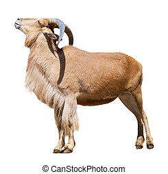 Female barbary sheep. Isolated over white