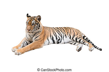 female bengal tiger isolated on white background