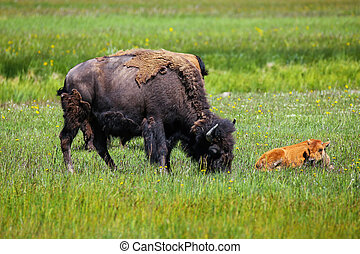 Female bison grazing with a calf lying next to her, Yellowstone National Park, Wyoming