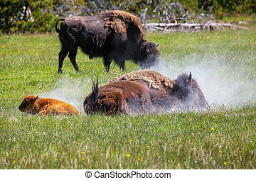 Female bison taking a dust bath with a calf nearby, Yellowstone National Park, Wyoming