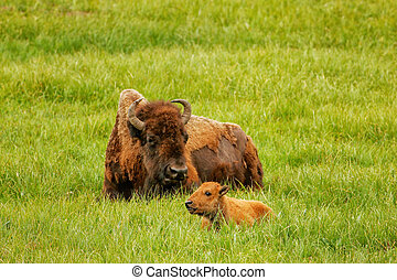 Female bison with a calf laying in a green field, Yellowstone National Park, Wyoming