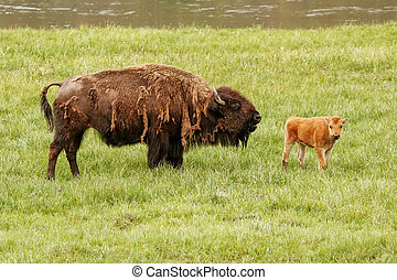 Female bison with a calf standing in a green field, Yellowstone National Park, Wyoming
