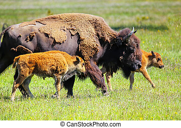 Female bison with calves walking in Yellowstone National Park, Wyoming