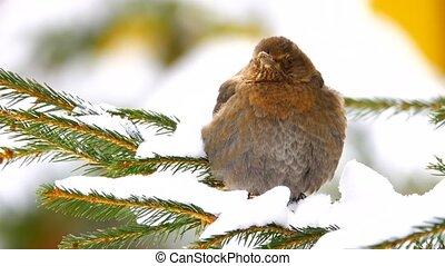 female black (Turdus merula) thrush on a branch of pine -...