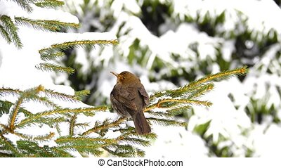 female black (Turdus merula) thrush on a branch of pine