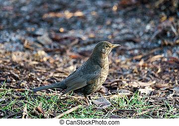 Female Blackbird (Turdus merula) on the Ground
